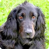 Adopt A Pet :: Koda - Minneapolis, MN