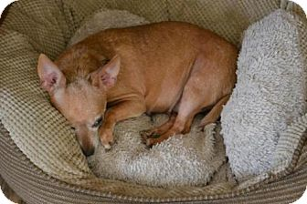 Chihuahua Dog for adoption in Cochran, Georgia - Nita