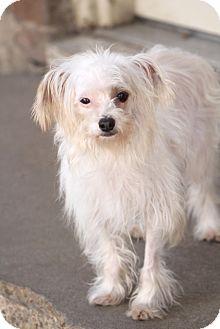 Maltese Mix Dog for adoption in Allentown, Pennsylvania - Tibbits