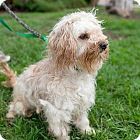 Poodle (Miniature)/Lhasa Apso Mix Dog for adoption in San Diego, California - Murphy