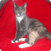 Domestic Shorthair Cat for adoption in McConnells, South Carolina - Pebbles