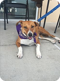 Beagle Mix Dog for adoption in San Angelo, Texas - Angel