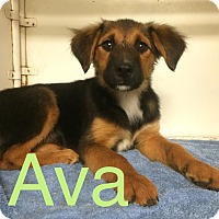 Adopt A Pet :: ava in CT - Manchester, CT