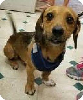 Dachshund/Terrier (Unknown Type, Small) Mix Dog for adoption in Ottumwa, Iowa - Thor