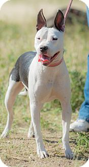 Bull Terrier Mix Dog for adoption in Poway, California - ABBY