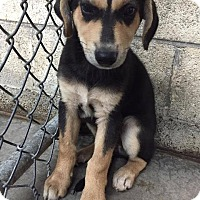 Adopt A Pet :: Braxton - Danbury, CT