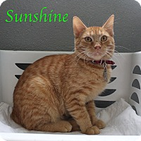 Domestic Shorthair Kitten for adoption in Bradenton, Florida - Sunshine