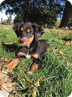 Labrador Retriever/Australian Shepherd Mix Puppy for adoption in New Oxford, Pennsylvania - Izzy Baby