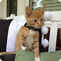 Domestic Shorthair Kitten for adoption in Statesville, North Carolina - Cal