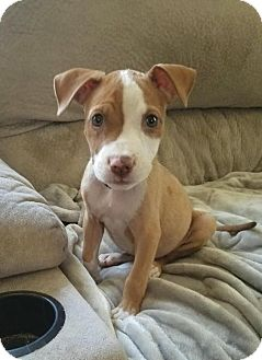 Pit Bull Terrier/Beagle Mix Puppy for adoption in Linden, New Jersey - Tori