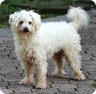 Poodle (Miniature)/Maltese Mix Dog for adoption in Boulder, Colorado - August-Adoption Pending