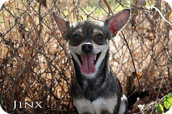 Chihuahua Mix Dog for adoption in Texarkana, Arkansas - Jinx