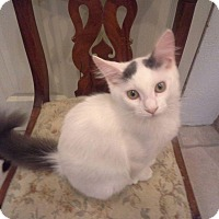 Turkish Van Cat for adoption in Mission Viejo, California - Willow