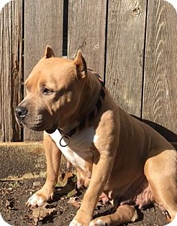 Pit Bull Terrier Mix Dog for adoption in Dallas, Texas - Stella V