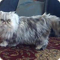 Adopt A Pet :: Lily - Trinidad, CO