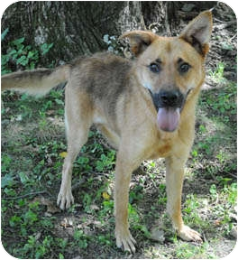 Belgian Malinois Mix Dog for adoption in Chicago, Illinois - Murray