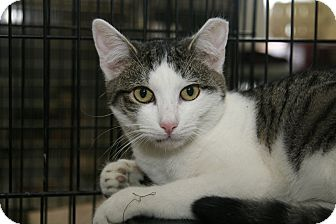 Domestic Shorthair Cat for adoption in East Brunswick, New Jersey - Angeline