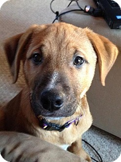 German Shepherd Dog/Labrador Retriever Mix Puppy for adoption in Garden City, Michigan - Mistletoe