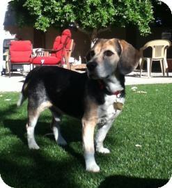 Beagle/Beagle Mix Dog for adoption in Phoenix, Arizona - Benson