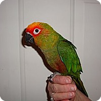 Adopt A Pet :: Kazi - St. Louis, MO