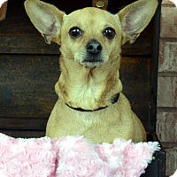 Adopt A Pet :: CoCo - Bridgeton, MO