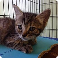 Adopt A Pet :: Tiger lilly - Port Richey, FL