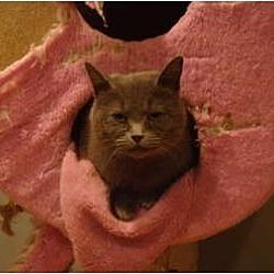 Photo 1 - Domestic Shorthair Cat for adoption in Muncie, Indiana - Nadia