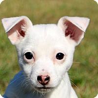 Adopt A Pet :: Sugar - Glastonbury, CT