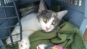 Calico Cat for adoption in Los Angeles, California - Jessabelle