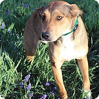 Adopt A Pet :: Sassy - Westminster, CO