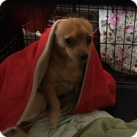 Adopt A Pet :: Sweetpea - Aurora, IL