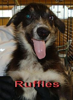Cattle Dog Mix Dog for adoption in Coleman, Texas - Ruffles