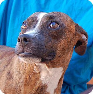 Whippet/Beagle Mix Dog for adoption in Las Vegas, Nevada - Brandi