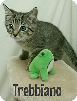 Domestic Shorthair Cat for adoption in Kendallville, Indiana - Trebbiano