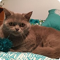British Shorthair Cat for adoption in Beverly Hills, California - Chauncey