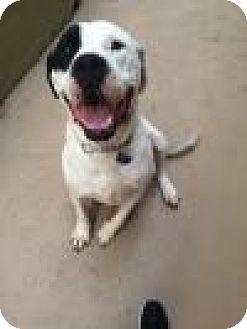 American Bulldog Mix Dog for adoption in Beverly Hills, California - Sunshine