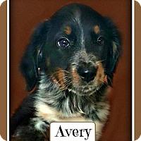 Adopt A Pet :: Avery - Doylestown, PA
