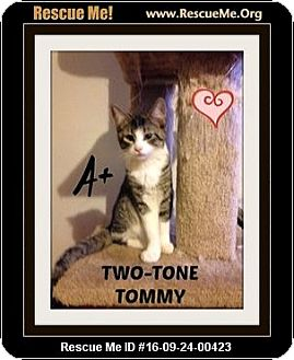 Domestic Shorthair Kitten for adoption in Highland, Michigan - Tommy