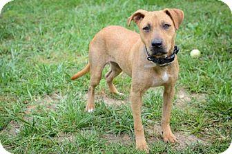 Pit Bull Terrier Dog for adoption in Batavia, Ohio - Daisy