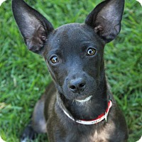 Adopt A Pet :: Aries - Red Bluff, CA