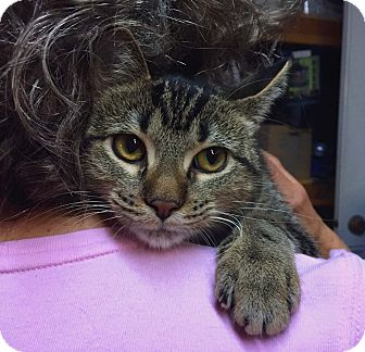 Domestic Shorthair Kitten for adoption in Lombard, Illinois - Columbine