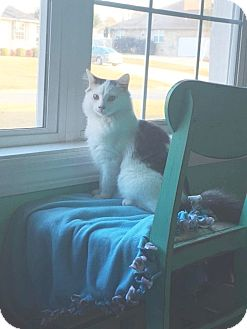 Domestic Mediumhair Cat for adoption in Marietta, Georgia - Tommie