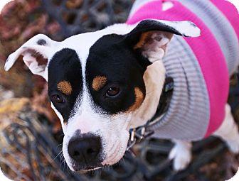 Terrier (Unknown Type, Medium)/Pointer Mix Dog for adoption in Allentown, Pennsylvania - Annie - Holiday Special!