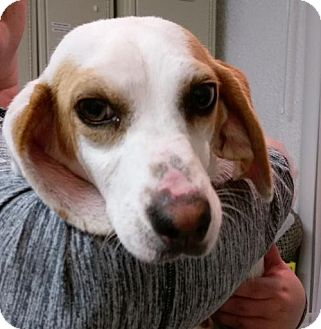 Beagle Dog for adoption in Bloomington, Illinois - Cardinal