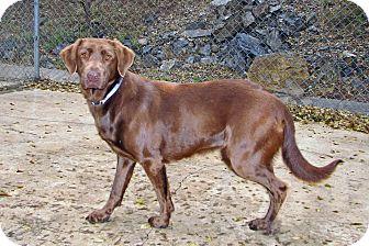Labrador Retriever Mix Dog for adoption in Ruidoso, New Mexico - Fiona