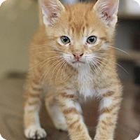 Domestic Shorthair Kitten for adoption in Hammond, Louisiana - Daniel