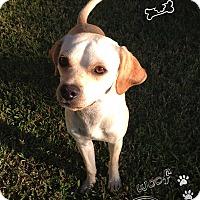 Adopt A Pet :: Dizzy - Coppell, TX