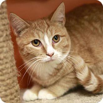 Domestic Shorthair Cat for adoption in Kettering, Ohio - Hudson