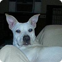 Adopt A Pet :: Sassy pants - Houston, TX