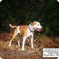 Adopt A Pet :: Tank - North Myrtle Beach, SC
